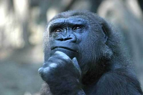 Contemplative Gorilla